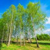 Birch tree grove. Royalty Free Stock Photo