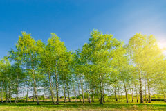 Birch tree grove. Stock Image