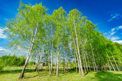 Birch tree grove. Royalty Free Stock Photos