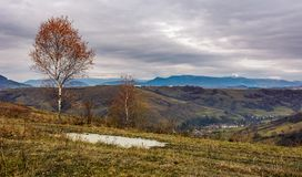 Birch tree on hill above the village. Gloomy autumn landscape in mountains with snowy peak in the distance Stock Image