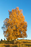 Birch tree on a hill at autumn Royalty Free Stock Images