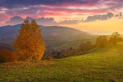 Birch tree on a hill in autumn at sunrise. Beauttiful mountainous countryside with gorgeous sky. bright and hazy atmosphere around royalty free stock photography