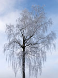 Birch tree with hoarfrost Stock Images