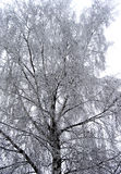 Birch tree with hoarfrost Royalty Free Stock Photos