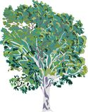 Birch tree illustration Stock Photos