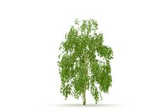 Birch  tree isolated. 3d render birch tree isolated on white background with shadow Royalty Free Stock Photos