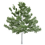 Birch Tree Isolated Royalty Free Stock Photography