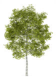 Birch tree isolated on white Royalty Free Stock Images