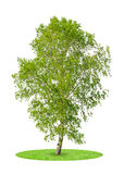 Birch tree. Isolated on white background royalty free stock photo