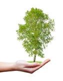 Birch tree Royalty Free Stock Image