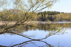 Birch tree at the lake Stock Photography
