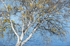 Birch tree beside lake in autumn Royalty Free Stock Photo