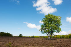 Birch tree in landscape Stock Images