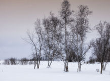 Birch Tree Landscape Royalty Free Stock Photos