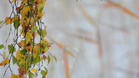 Birch tree leafs changing  color during autumn stock video footage