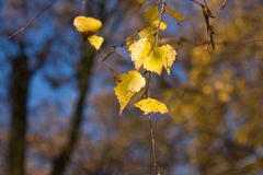 Birch tree leaves Royalty Free Stock Images
