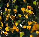 Birch tree leaves in autumn colors Stock Images