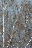 Birch tree without leaves in early spring Royalty Free Stock Photography