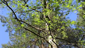 Birch tree leaves glistening in sun and wind with clear blue sky background stock video footage