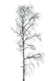 Birch tree without leaves isolated on white Stock Photo