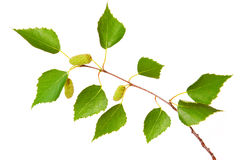 Birch tree leaves . Stock Photo