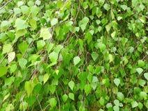 Birch tree leaves pattern Stock Photo