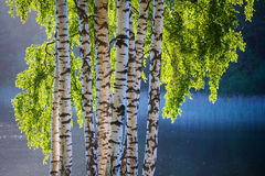 Birch tree and leaves in spring colors Stock Photography