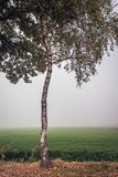 Birch tree with leaves stands on the edge of grassland on a fogg royalty free stock photos