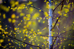 Birch tree and leaves Royalty Free Stock Photo