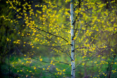 Birch tree and leaves Royalty Free Stock Image
