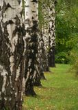 Birch tree line stock image
