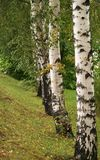 Birch tree line Royalty Free Stock Images