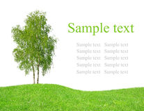 Birch tree on meadow Stock Images
