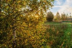 Birch tree in the morning Stock Photos
