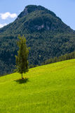Birch tree in the mountains Royalty Free Stock Photo