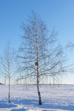 Birch tree with nesting box in a snowy field Royalty Free Stock Photo