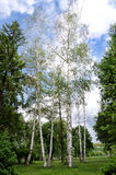 Birch. Tree in park Chair, with nice blu sky and clouds Royalty Free Stock Photo