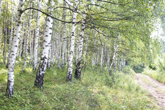 Birch Tree Path. In the woods Stock Photos