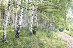 Birch Tree Path Stock Photos
