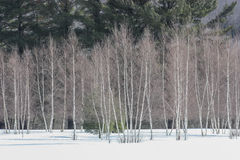 Birch tree. With pine in winter Stock Images