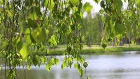 Birch tree river lake natural background forest stock footage
