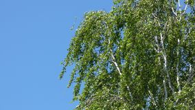 Birch Tree`s Leaves Swaying In the Wind. Clear blue sky in the background.n stock footage