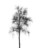 Birch tree silhouette isolated on white Stock Photo