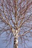 Birch tree Stock Photography