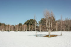 Birch tree on snow. Birch tree in the forest with snow Royalty Free Stock Photos