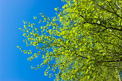 Birch tree at spring Royalty Free Stock Photo