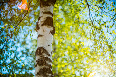 Birch tree in spring Stock Photos