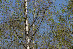 Birch tree in spring Royalty Free Stock Image