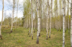 Birch tree in spring Stock Photo