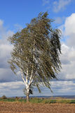 Birch tree in the storm. The silver birch (Betula pendula) grows in many parts of Asia and Europe. Birches are often planted in the open countryside as street Stock Image